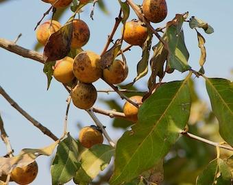 20  Seeds Diospyros melanoxylon, East Indian Ebony , Coromandel Ebony Seeds