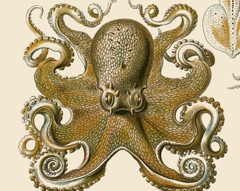 Ernst Haeckel - Octopus - Art Forms of Nature - Reproduction Art Print - Science - Nature