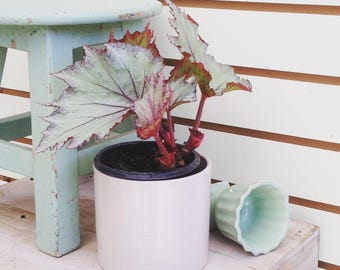 "Rex Begonia Purple Plant 4"""