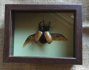 Framed Five Horned Rhino Beetle