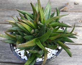 Dwarf Aloe Black Gem - rare succulent