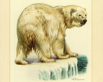 Vintage lithograph of the polar bear from 1956