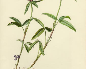 Vintage lithograph of the trifolium alpestre from 1955