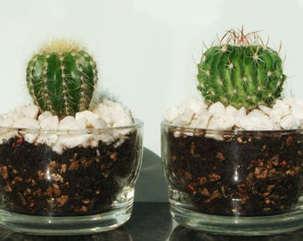 Glass cactus planters, set of two