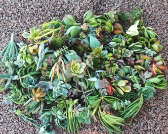 60 succulents  cuttings ,clippings,unrooted plants