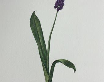 Original art. Painting. Watercolour. Flowers. Muscari. Grape Hyacinth. Botanical art. Nature. Purple. Green.