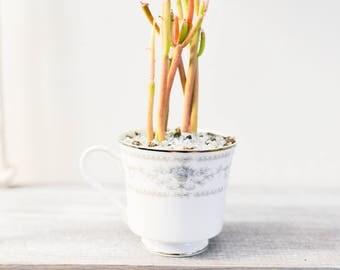 Teacup Succulent - Teacup Succs - Succulent Decor - Succulent Planter - Succulent Design - Teacup Succulents - Teacup Cacti - Teacup Planter