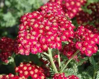Red Yarrow Flower Essence