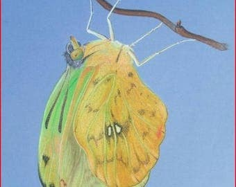 'Butterfly' (phoebis philea) oil on Canson pastel.