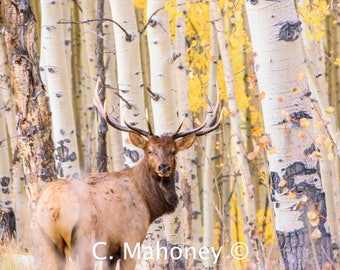Fall Bull Elk Photograph, Wildlife, Photography, Colorado Animals, Print, Fine Art, Rocky Mountain Photo
