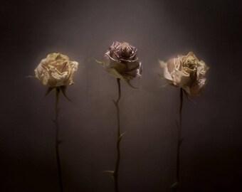 Three Roses - Minimalist Stll Life - Fine art Photography by Jamie Holland