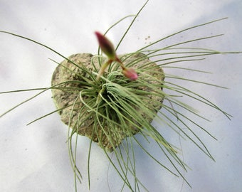 Air Plant in Heart Shaped Holder