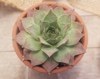2-1/2 inch Sempervivum 'Somerwise', Hens and Chics, Houseleek