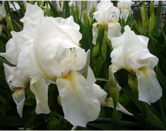 Iris seeds, White Flowers, Garden, Flowers,50+seeds