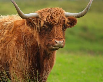 Highland Cow No.5 Greetings Card