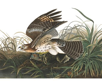 Audubon's Plate 71 Winter Hawk Cross Stitch Pattern