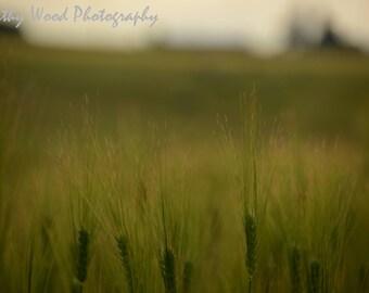 Wheat Field by Kathy Wood
