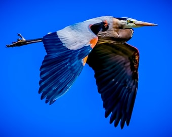 Blue Heron Fly By.