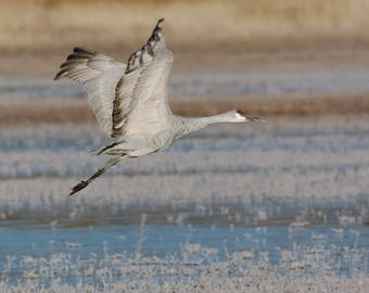 Sandhill Crane take off from Ice -  New Mexico
