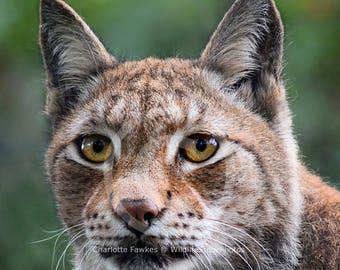 Eurasian Lynx Stock Photo