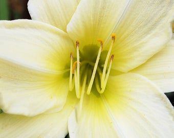 White Lily - St. Paul's Church - Chester, NY
