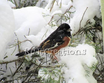 Towhee in the Snow