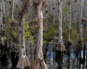Cypress trees, everglades, swamp, bald cypress, everglades print, everglades art,