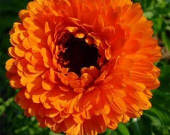 Calendula Pot Marigold- Geisha Girl- 50 Seeds