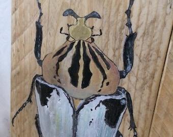 goliathus cacicus