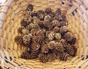 Larch etsy western larch pine cones sciox Image collections