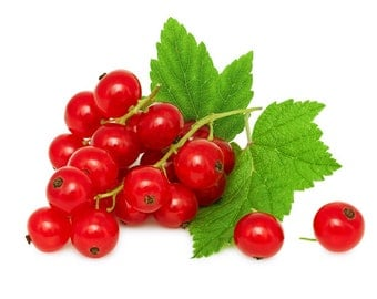 Redcurrant or Red Currant Plants - Ribes rubrum - Well rooted Current plants