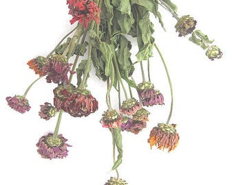 ZINNIA naturally DRiED FLOWER  Bunches