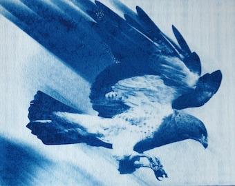 Hawk: Portrait de Cyanotype d'un oiseau