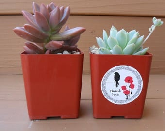 Reserved For Gwen, 160 Succulent Favors, Deposit Has Been Paid, Ship August 16