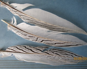 "Five slightly damaged Silver Pheasant  feathers 7-9""  long"