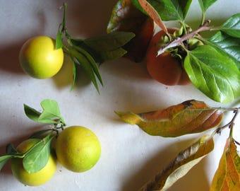 Persimmon Botanical Photograph 8x10