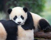 BABY PANDA PHOTO, Baby An...
