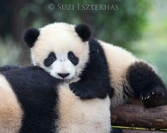 BABY PANDA PHOTO, Baby Animal Photograph, Baby Animal Print, Wildlife Photography, Wall Decor, Safari Nursery Art, Kids Room Decor, Zoo