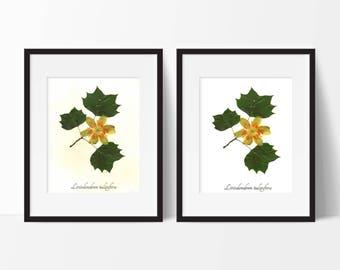 Tulip Tree Herbarium Art Print - Pressed Botanical Print