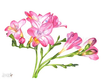 Freesias print of watercolour painting, F22917, A4 size, Freesias watercolour painting print, Freesia watercolor painting print, Flowers