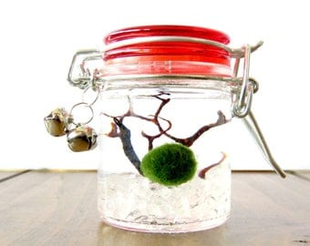 Adorable Stocking Stuffer - Bright Red Marimo Terrarium Jar with Jingle Bells, Several colors of Pebbles, Gifts under Twenty Dollars