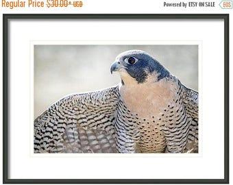 ON SALE Peregrine Falcon, Bird Photography,  Home and Cabin and Office Decor, Bird Wall Art, Nature Print, Bird Lover Art, Bird of Prey, Blu