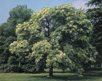 100 Flowering Ash Tree Seeds, Fraxinus Ornus