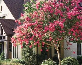 100 Common Crape Myrtle Tree Seeds, Lagerstromia Indica