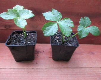 "Ashitaba-Two Plants in 4"" Pots"