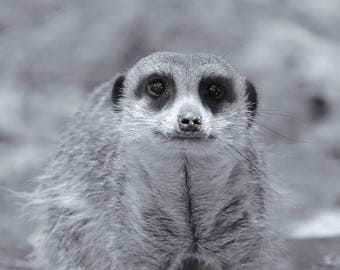 Black and White Animal Collection - Meerkat