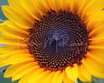 Sunflower Macro - Fine Art Nature Photography Katie McKinney.  5X7 White matted 8X10 photo wall print.