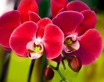 Orchid seeds, phalaeonopsis red orchid, orchids, code 531,orchid collection, gardening, flower seeds