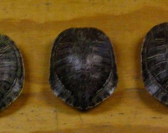 "3 - 5"" Red Ear Slider Turtle Shells"