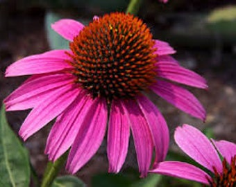 Echinacea or Purple Cone Flower Seeds